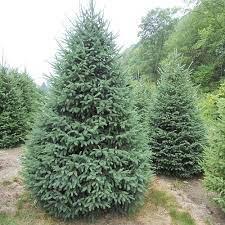 Picea Glauca 'Densata'