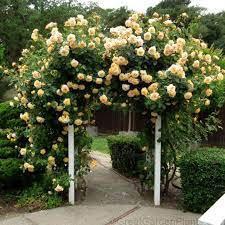 Rosa 'Garden Sun' Climbing