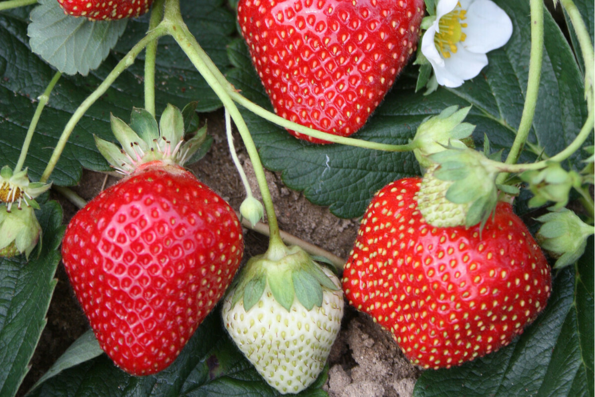 Strawberry 'Seascape' 1 gal.