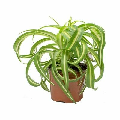 Spider Plant Curly