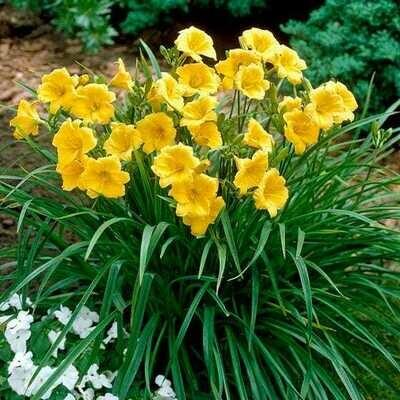 Hemerocallis 'Stella d'Oro' Yellow