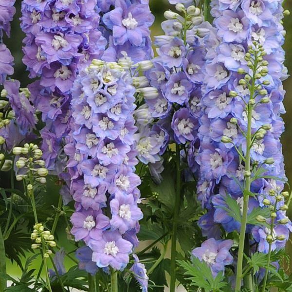 """Delphinium 'Guardian Lavender"""" 2 Gallon"""
