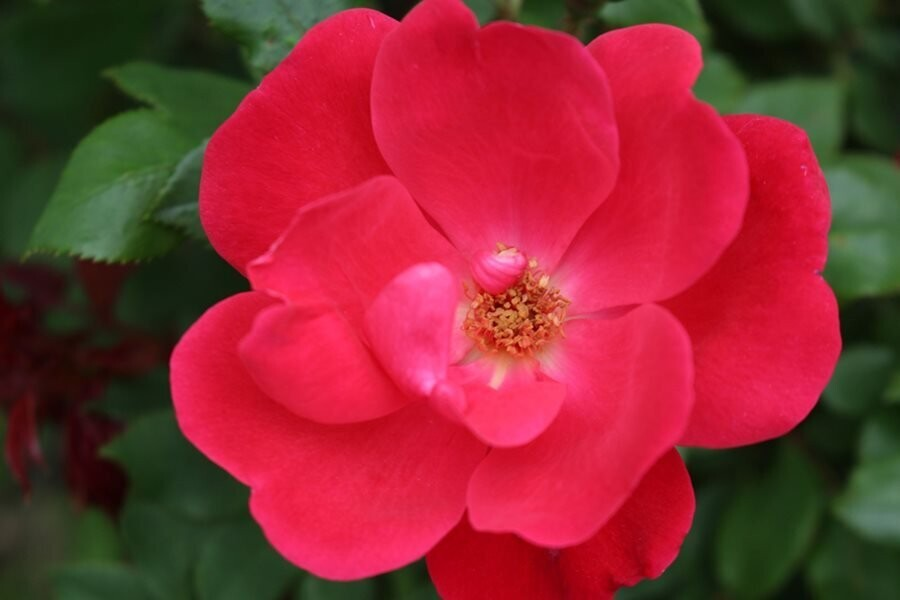 Rosa 'Knockout' 3 gal