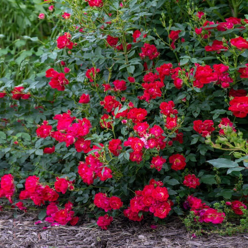 Rosa 'Drift Red' 2 gal