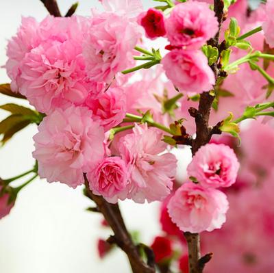 Prunus 'Perfection' Apricot 7 gal