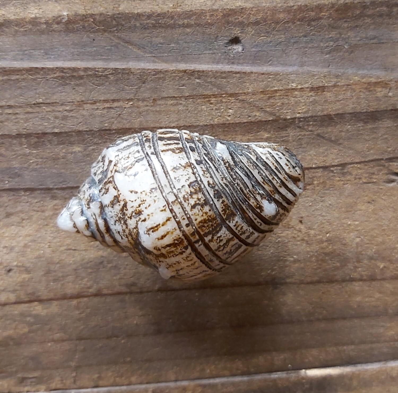 Acrylic Brown Sea Shell
