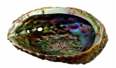 Abalone Shell 3