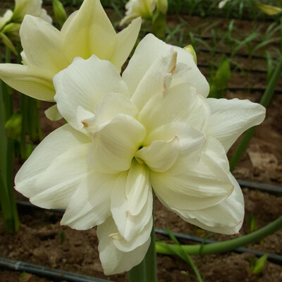 Amaryllis- Alasca (Double White Bloom)