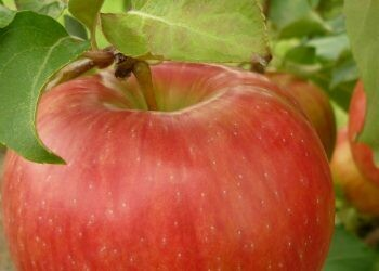 Pomme Cortland sac