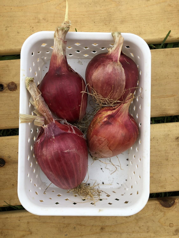Oignons violets italiens variétés ancestrale