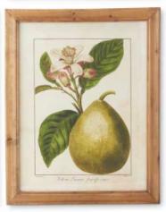 Botanical Fruit Print C