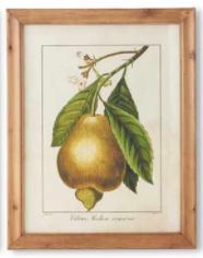 Botanical Fruit Print A