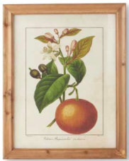 Botanical Fruit Print F