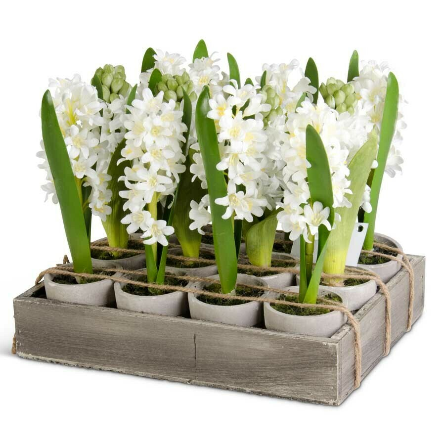 """6"""" Potted Hyacinth"""