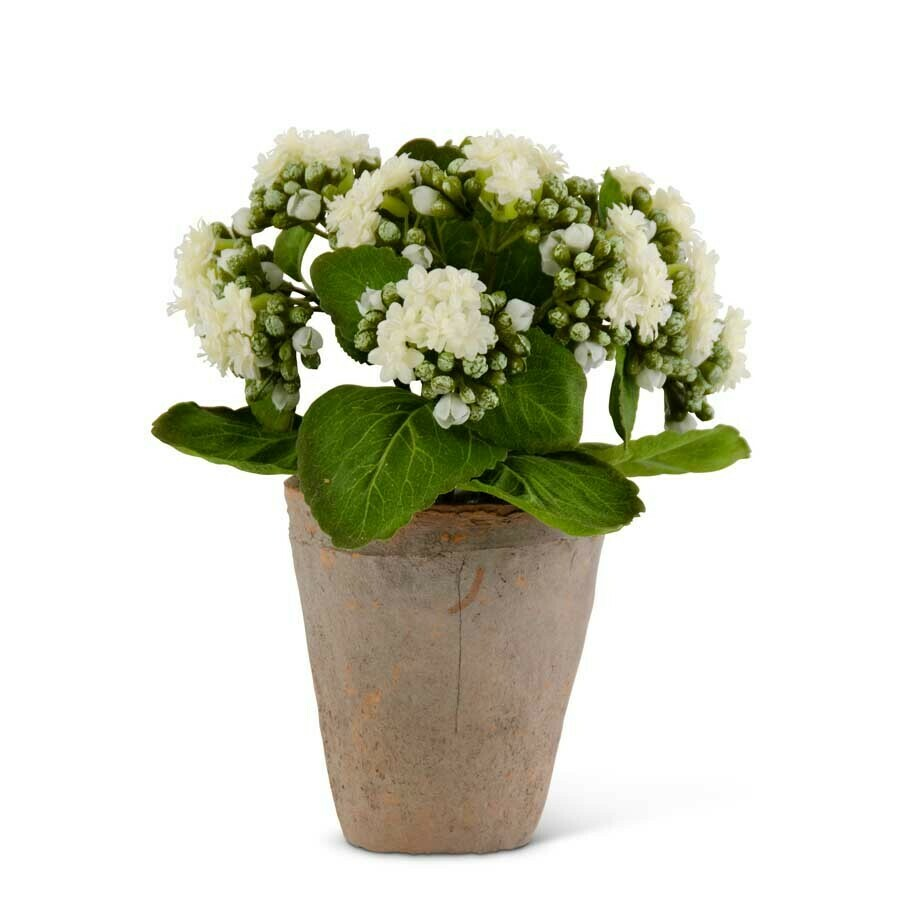 """9.5"""" White Kalanchoe in Clay Pot"""