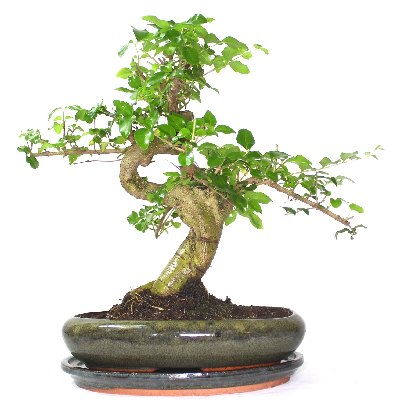 Extra Large Ligustrum Mandarin Tree Bonsai Tree S Trunk Supplied In Oval Pot With Ceramic Drip