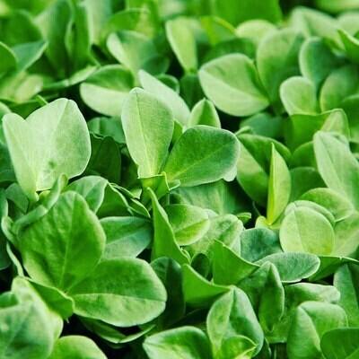 Fava Bean Microgreens