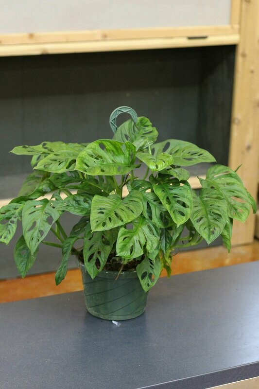 Philodendron - Swiss Cheese