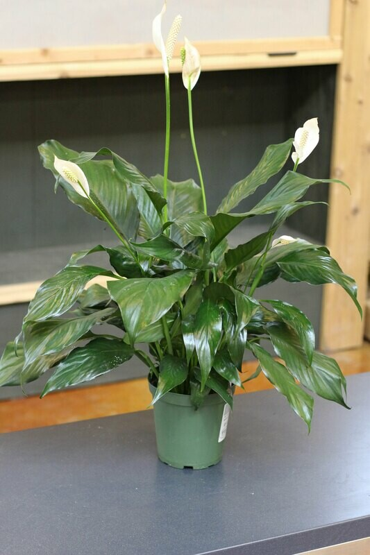 Peace Lily/Spathiphyllum