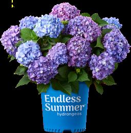 Bailey's BloomStruck Hydrangea (2 Gallon)