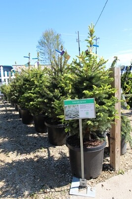 Colorado Spruce (15gal)
