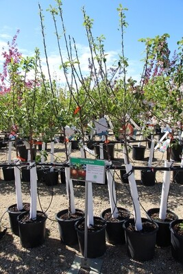 Cortland Apple Tree (5gal)