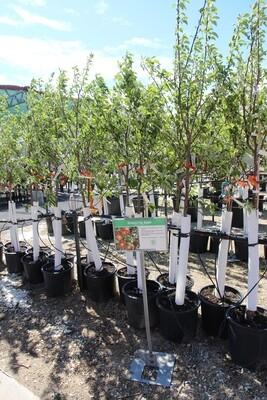 Honeycrisp Apple Tree (9gal)