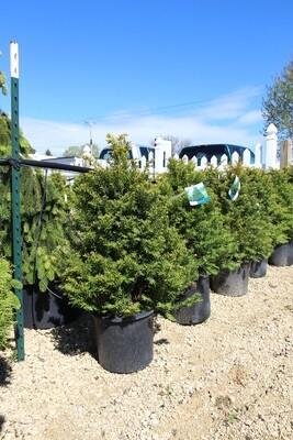 Upright Yew (7gal)