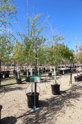 Niobe Weeping Willow Tree (10gal)