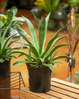 Agave Succulent