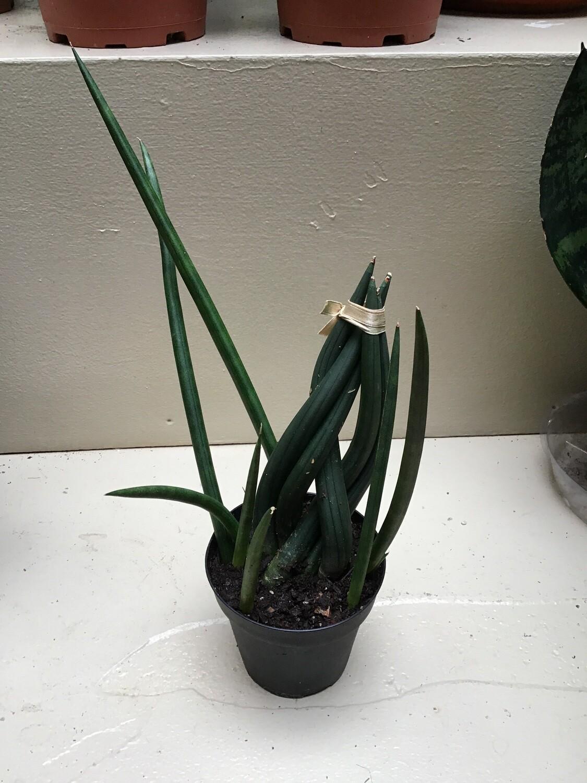 Snake Plant/Sansevieria Assortment