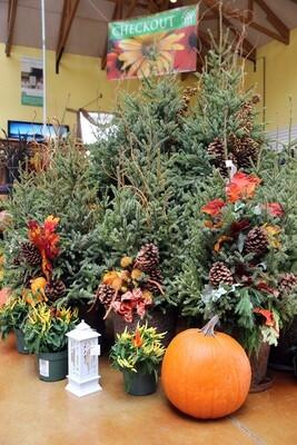 Free Pumpkin w/Spruce Tip Pot Fall-12