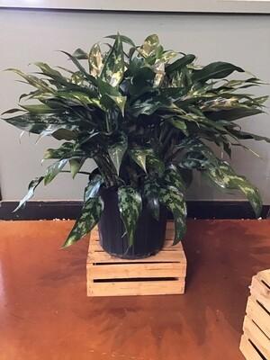 Chinese Evergreen / Aglaonema Emerald Beauty
