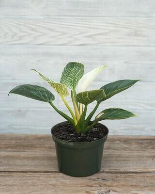 Philodendron - Birkin