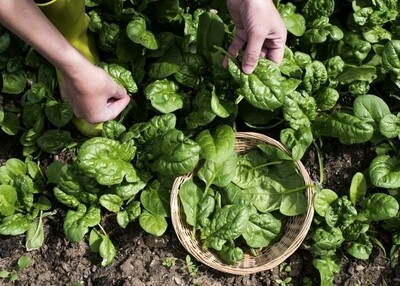 Spinach Locally Grown - 1/2 lb Package