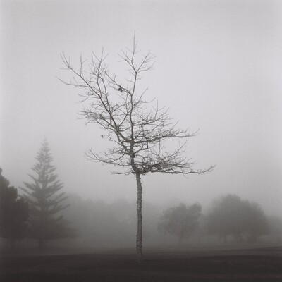 The Misty Tree