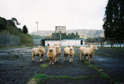 Court Sheep