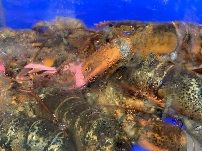 【RBS】加拿大游水大龙虾 1只 ~2.5-3lbs