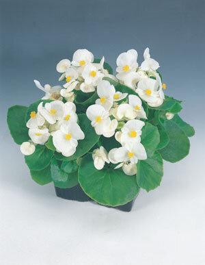 Begonia, Wax, Yang White