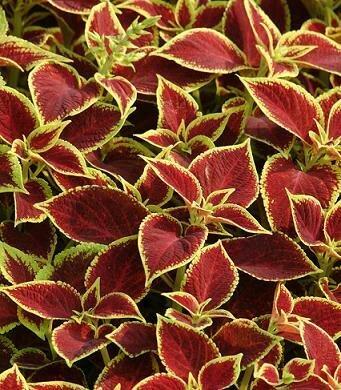 Coleus, Sun Crimson Gold