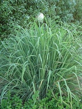 Lemongrass, West Indian