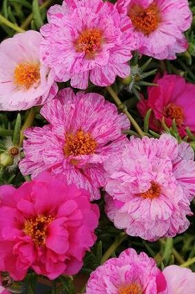 Moss Rose, Happy Trails Peppermint
