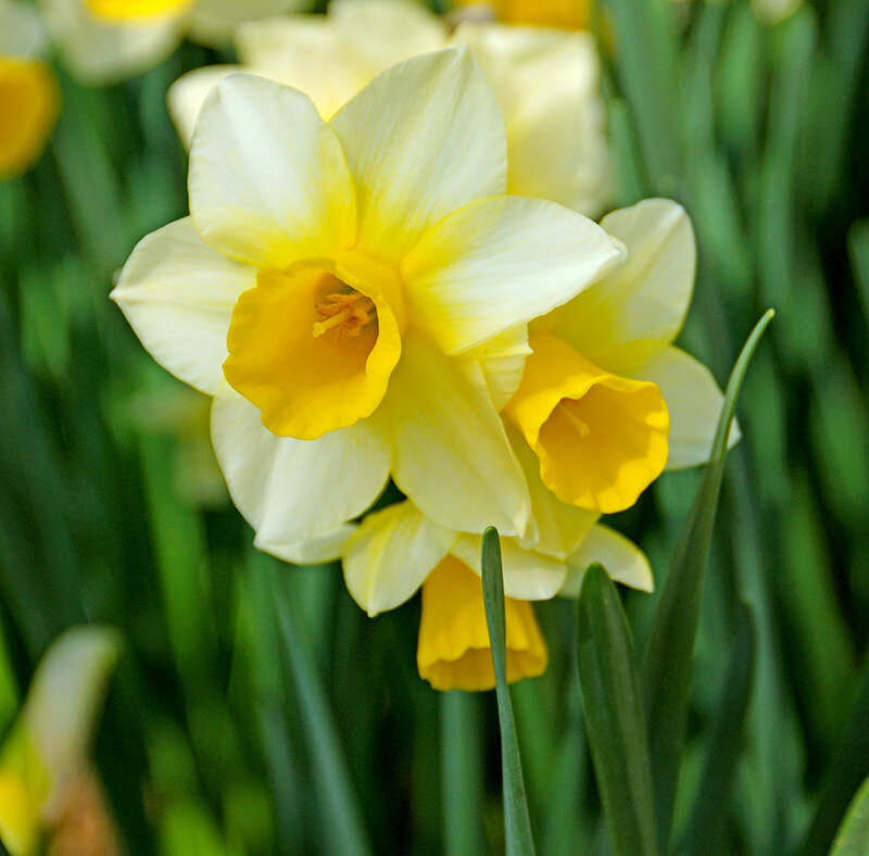 Daffodil - Golden Echo