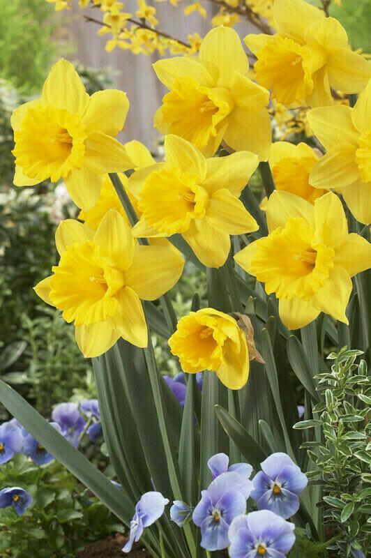 Daffodil - Marieke
