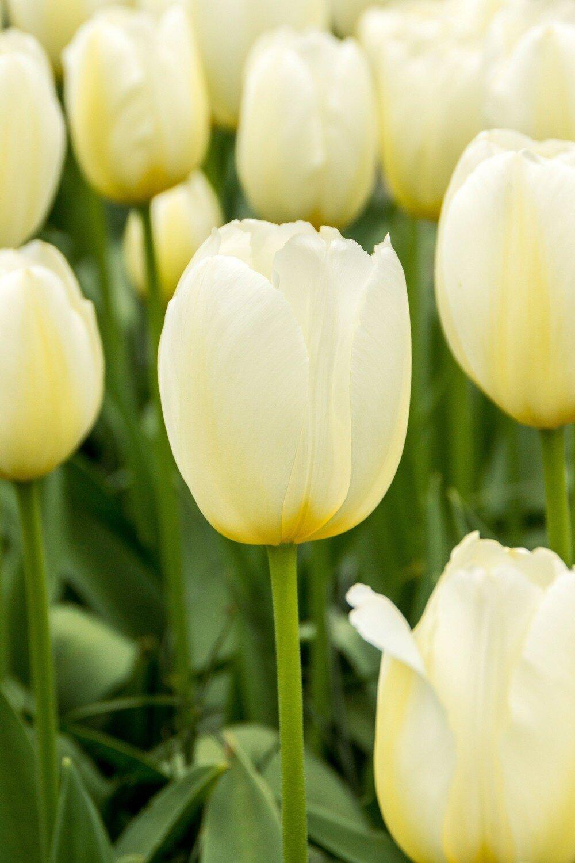 Tulip - Pays Bas