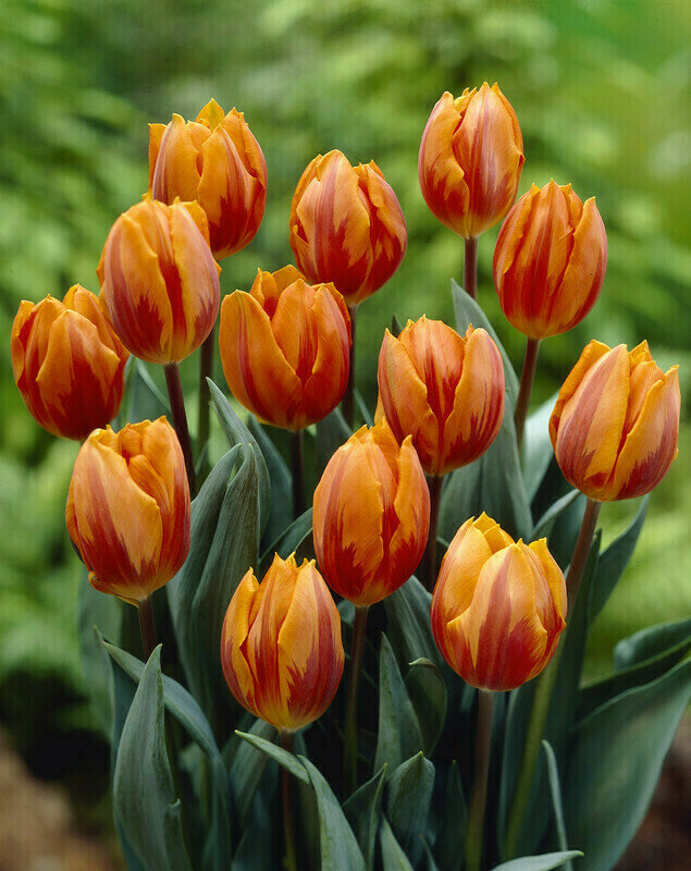 Tulip - Prinses Irene