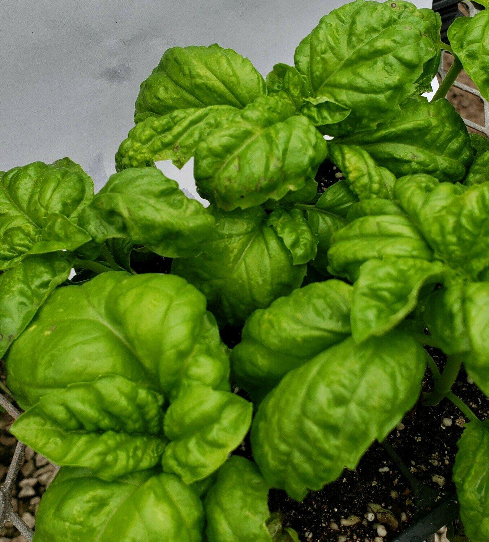 Basil, Lettuce Leaf