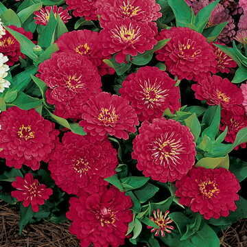 Zinnia, Dreamland Red