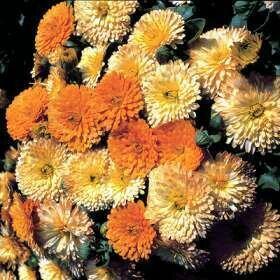 Marigold, Pot, Bon Bon Apricot