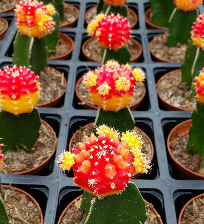 Moon Cactus, Orange-Raspberry